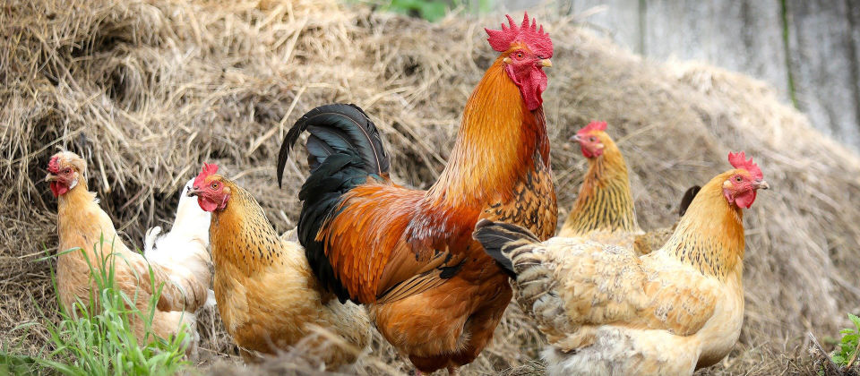 Natural products for poultry